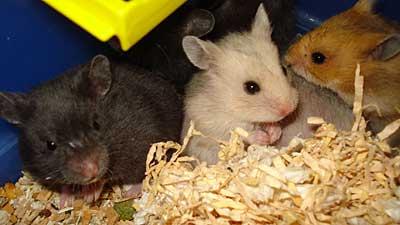Hamsterungar leveransklara
